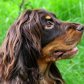 Coco's Back! by Chrissie Barrow - Animals - Dogs Portraits ( grass, green, mouth, cocker spaniel, bokeh, portrait, ear, female, pet, fur, brown, dog, nose, tan, eye,  )