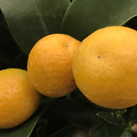 Oranges on the orangetree by Alesanko Rodriguez - Food & Drink Fruits & Vegetables ( plant, orange, fruit, season, nature, summer, beauty, vegetable, close-up )