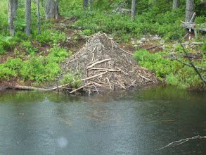 Photo: Beaver lodge