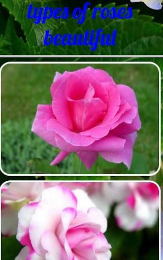 玩免費遊戲APP|下載类型的美丽的玫瑰 app不用錢|硬是要APP