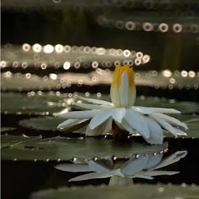 water Lily by Lai Jung - Flowers Flowers in the Wild