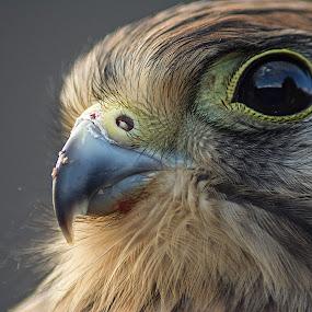 Poštolka by Jana Černošková - Animals Birds ( kestrel,  )