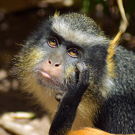 I'm Thinking... by Shawn Thomas - Animals Other Mammals ( wildlife, primate, yellow, monkey, mammal,  )