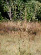 Photo: Wild rice