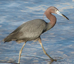 Photo: RCR is home to more than 200 species of birds. 23 species are considered rare. The shrub thicket of Middle Marsh supports an egret and heron rookery.