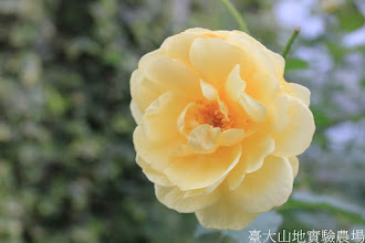 Photo: 拍攝地點: 梅峰-溫帶花卉區 拍攝植物: 玫瑰 拍攝日期: 2015_05_29_FY