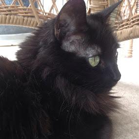 Chillin' by Diana Reed Kubec - Animals - Cats Portraits ( cat, pet, pets, black cat, animal,  )