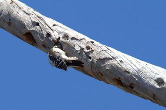 Photo: Downy Woodpecker