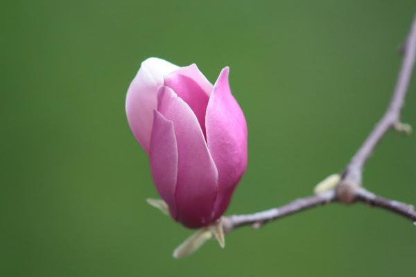 magnolia di paolocr