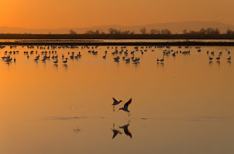 Photo: Ross' geese and American avocets, Merced NWR, CA, USA