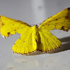 Yellow Green Broken-Leaf Moth Female