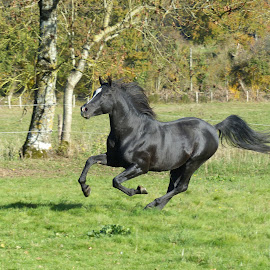 Arab Stallion by Laura Payne - Animals Horses ( stallion, gallop, equine, arab, horse, canter, sleek, suspension, blaze, run, space, equus, tail, field, open, free, movement, action, glisten, black, animal )