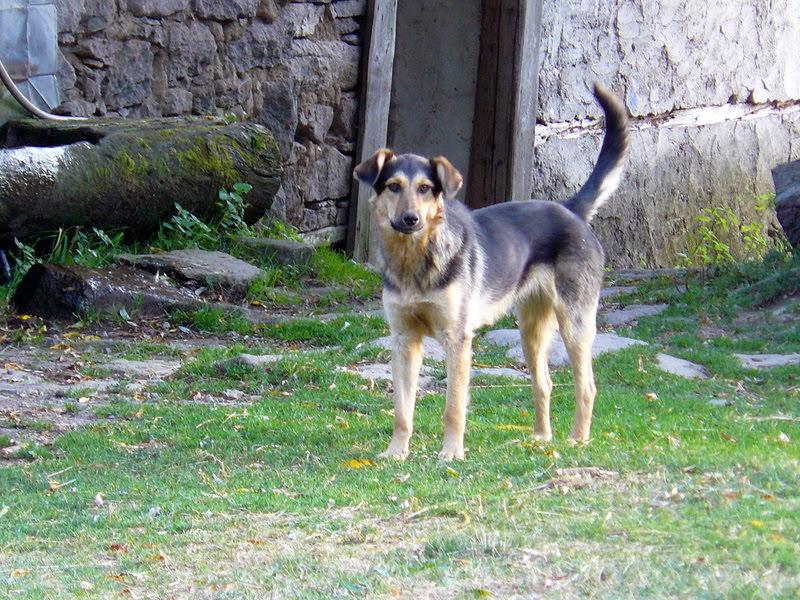 Куче-пазач в Родопите