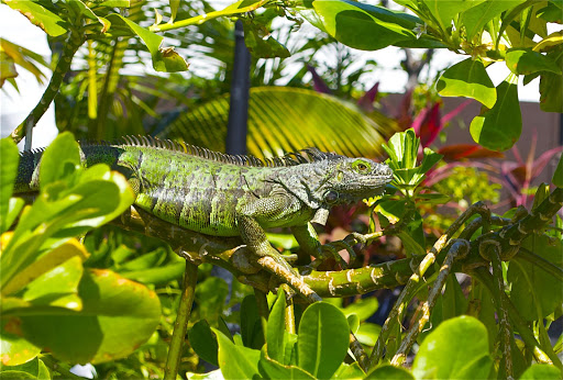 Iguana-Grand-Cayman - An iguana spotted on Grand Cayman.