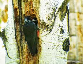 Photo: Lewis's Woodpecker inspecting a tree cavity, Shevlin Park, Bend, OR
