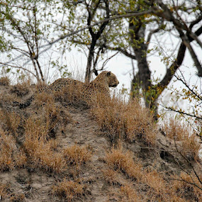 Termite Adornment  by Sheila Grobbelaar - Animals Lions, Tigers & Big Cats ( leopard )