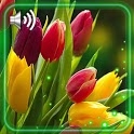 Tulips Spring Live Wallpaper icon