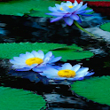 Nature Lotus Live Wallpaper icon