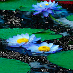 download Nature Lotus Live Wallpaper apk