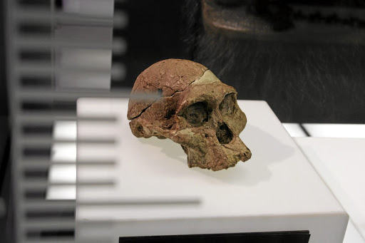Ancient treasure  The skull of Mrs Ples at the Sterkfontein Caves  orientation centre at the 83c170891ce