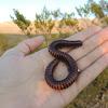 Desert Millipede