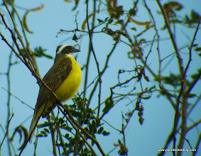 Photo: Social Flycatcher; Rancho Primavera, near Tuito, Jalisco