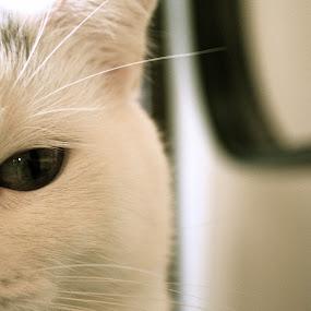 by Joelle McGraw - Animals - Cats Portraits ( chair, cat, white, cute, antique, portrait, eyes )