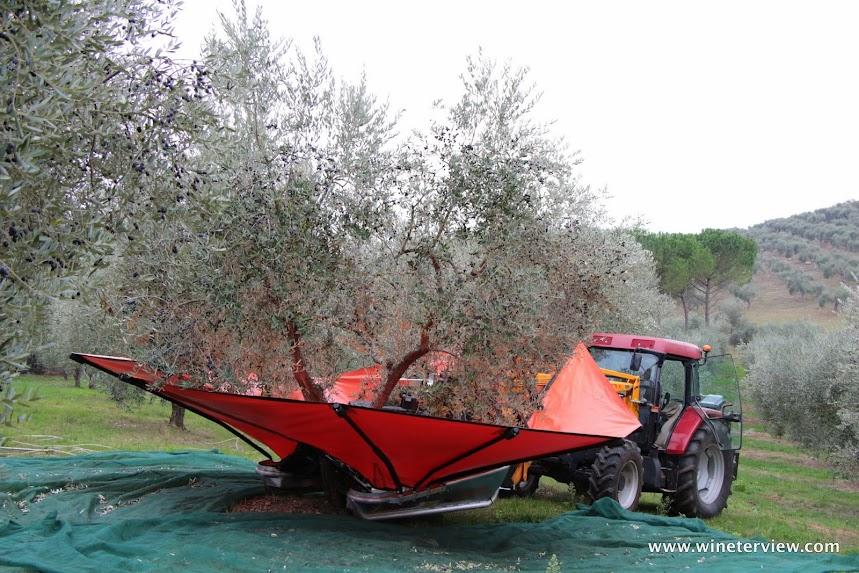 olio, olio d'oliva, olio extra vergine d'oliva, toscana. antipasto, olive oil, extra virgin olive oil, tuscany, тоскана, оливковое масло, raccolta olive, olive picking