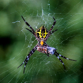 Pray For The Prey by Gowri Shankar - Animals Insects & Spiders ( web, spider, prey, insect )