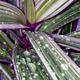 by Megi Šajn - Nature Up Close Other plants ( green, natural, plants, dew, natural light, nature up close, purple )