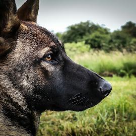 German shepherd  by Matthew  Lucas  - Animals - Dogs Portraits ( working dog, outdoors, german shepherd, nature, gaze, puppy, farm, looking, dog )