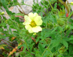 Photo: Rough-fruited Cinquefoil, 6.28