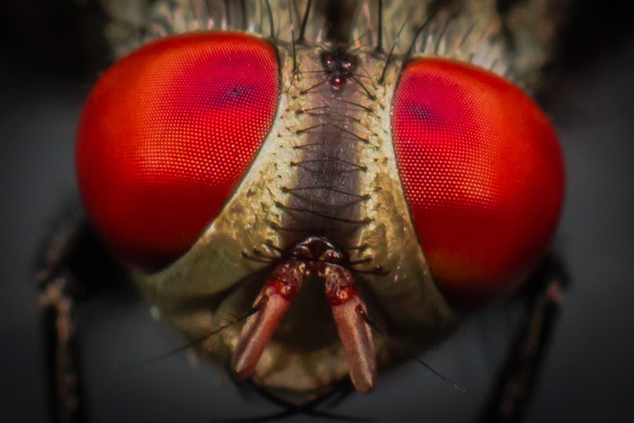 The Red Eyes by Dedy Setiawan - Novices Only Macro