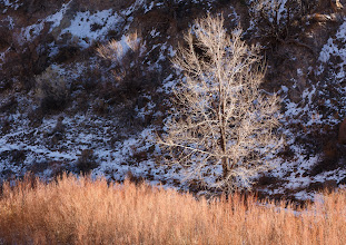 Photo: A cottonwood above the tamarisk as evening descends at the Rio Grande in White Rock Canyon.