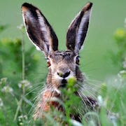 Зайчишка в траве