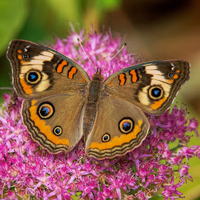 Buckeye by Roy Walter - Animals Insects & Spiders ( wild, butterfly, summer, bug, insect, garden, animal )