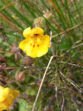 Photo: Monkeyflower