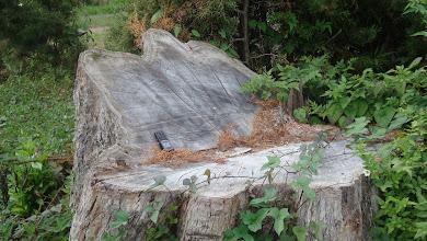 Photo: Un gigantesco coloso talado hace pocos años DSC03740.JPG