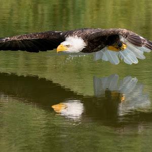 xxxx Large ffgg eagle water 9152 best.jpg