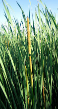 Photo: Cattail flower, 6.13.08