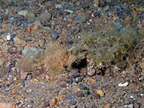 Photo: Ambon Scorpionfish - Pterodichthys amboinensis - Mainit