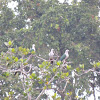 Spice imperial pigeon