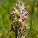 The bug orchid