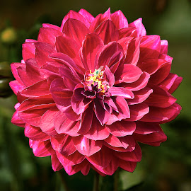 Dahlia 8505~ by Raphael RaCcoon - Flowers Single Flower