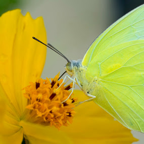 Butterfly on yellow flower by Basant Malviya - Animals Insects & Spiders ( butterfly, insect, yellow, flower,  )