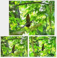 Photo: 撮影者:sayoko sato ガビチョウ タイトル:今朝のガビ 観察年月日:2014年5月9日 羽数:数羽 場所:高幡台団地緑地  区分:行動 メッシュ:武蔵府中3H コメント:裏山ではまだ夏鳥に出会っていません。そんな中でウグイスと声を競い合っているガビチョウはやはり元気一番。