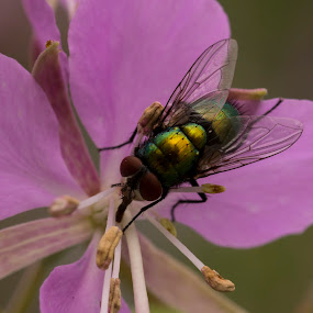 Green Fly by Francois Larocque - Animals Insects & Spiders ( fly, green, macro photography, purple, flower )