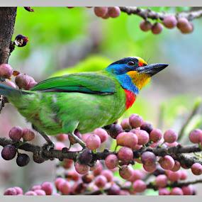 Taiwan Barbet by Vinay Tyagi - Animals Birds