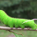 Giant Sphinx Moth Caterpillar