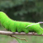 Giant Sphinx Moth Caterpillar